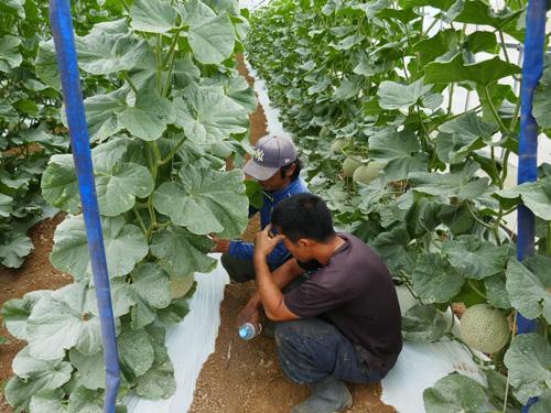 宮古島南国メロン農家